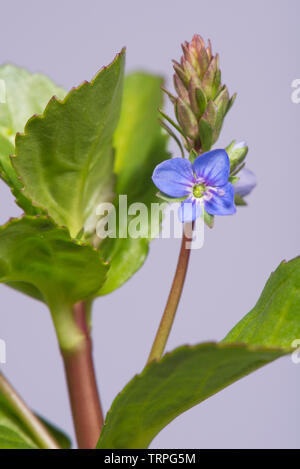 Fleshy succulent leaves and blue flower of marginal aquatic plant brooklime, Veronica beccabunga, Berkshire, May - Stock Image