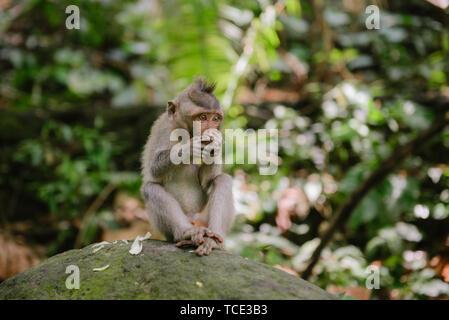 Balinese Long-Tailed Monkey sitting on a rock eating, Sacred Monkey Forest Sanctuary, Ubud, Bali, Indonesia - Stock Image