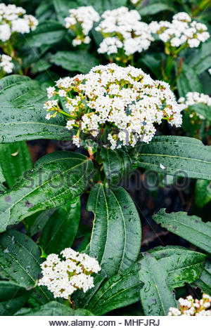 Viburnum davidii plant in late April, showing pest damage to leaves. - Stock Image