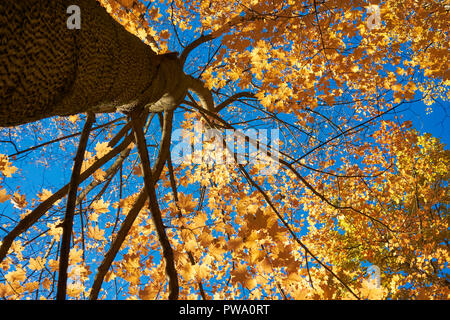 Yellow foliage of a maple tree in autumn. Bitsevski Park (Bitsa Park), Moscow, Russia. - Stock Image