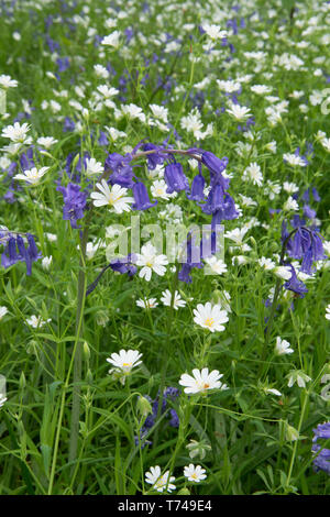 Mixed woodland spring flowers, Bluebells, Hyacinthoides non-scripta, with Greater Stitchwort, Stellaria holostea, Sussex, UK, April, - Stock Image
