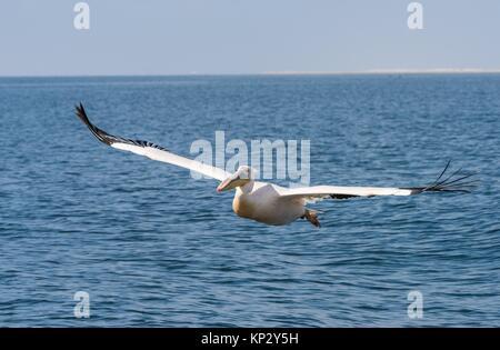 Pelecanus onocrotalus in flight, Walvis Bay, Namibia - Stock Image