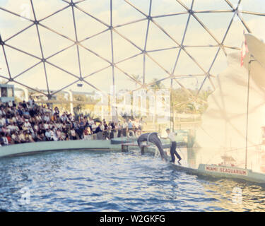 Trained dolphin jumping through a large ring at Miami Seaquarium ca. 1970 - Stock Image
