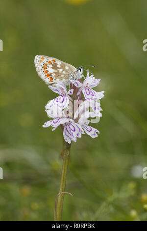 Northern Brown Argus, Aricia artaxerxes, on Orchid flower - Stock Image