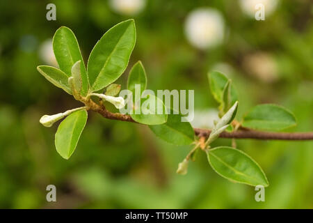 Flowers starting to appear on an Elaeagnus Multiflora semi-evergreen shrubgrowing in north east Italy. Also known as Cherry Elaeagnus, Cherry Silverbe - Stock Image