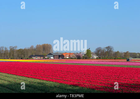 Lisse, Holland - April 18, 2019: Traditional Dutch tulip field with rows of red, pink and yellow flowers - Stock Image