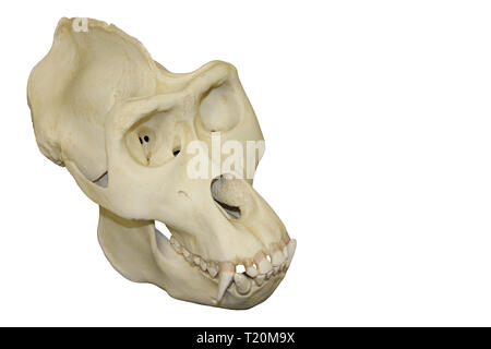 Male Gorilla Skull White Background - Stock Image
