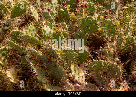 Cactus on Gran Canaria, Canary Islands - Stock Image