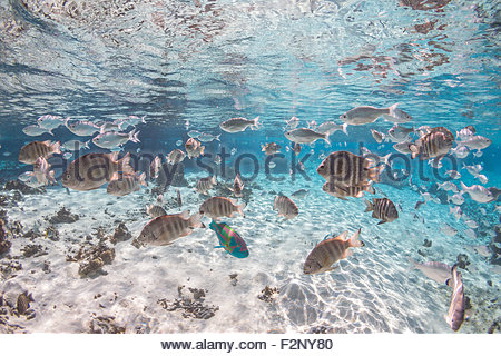 Marine life in the lagoon - Tikehau - French Polynesia - Stock Image