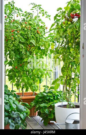 Tomato plants with ripe tomatoes and strawberry plants in big pots on a city balcony - Stock Image