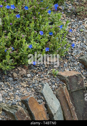 Lithodora Diffusa Heavenly Blue, a small prostrate evergreen shrub with vivid blue flowers growing on a garden wall, April, England, UK - Stock Image