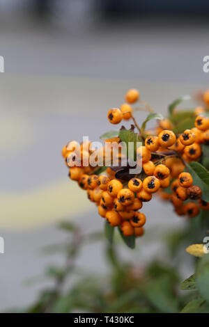Orange berries hanging from a bush branch. The background includes beautiful green leaves and some asphalt. Closeup photo. Color image. - Stock Image