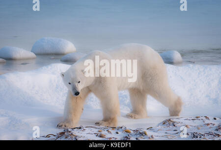 A lone polar bear walking in the snow beside Hudson Bay in northern Canada waiting for the water to freeze. - Stock Image