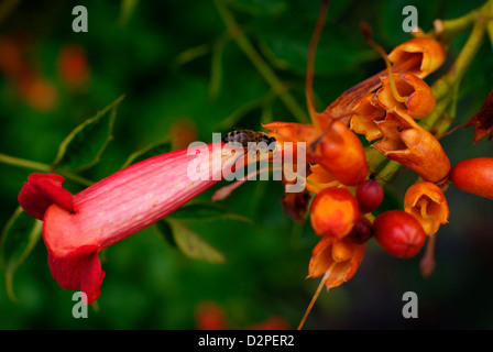 Late Flowering Trumpet Vine / Trumpet Creeper with Bee - Campsis radicans (Bignoniaceae). Also known as Cow Itch - Stock Image