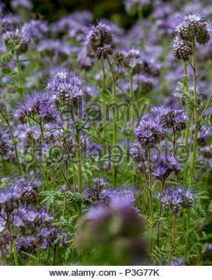 A drift of Phacelia (Tansy) in an allotment garden planted to provide green manure to improve the quality of the soil - Stock Image