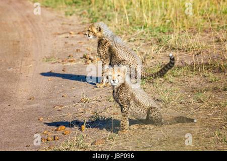 Two little wild Cheetah Cub babies, Acinonyx jubatus, Masai Mara National Reserve, Kenya, East Africa African wildlife - Stock Image