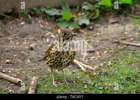 Song Thrush, Turdus philomelos, YWT Adel Dam, Leeds, West Yorkshire, England, UK. - Stock Image