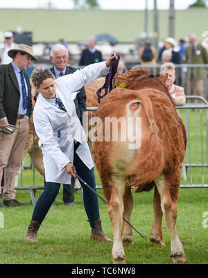 Ardingly Sussex UK 6th June 2019 - The cattle competition on the first day of the South of England Show held at the Ardingly Showground in Sussex. The annual agricultural show highlights the best in British farming and produce and attracts thousands of visitors over three days . Credit : Simon Dack / Alamy Live News - Stock Image