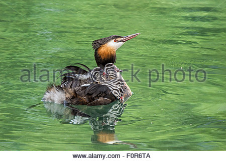 Great crested grebe carrying fluffy striped young chicks on the back  - Podiceps cristatus - Stock Image