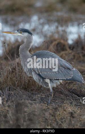 Blue Heron hunting in coastal marsh. - Stock Image