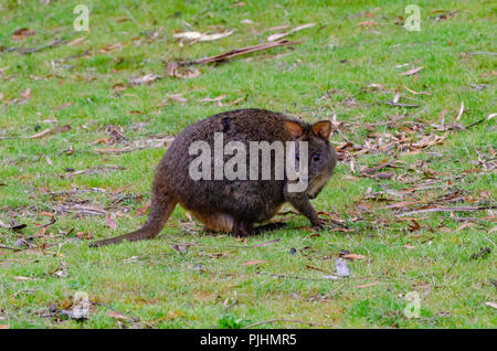 Tasmanian pademelon, feeding on grassland, Tasmania, Australia - Stock Image