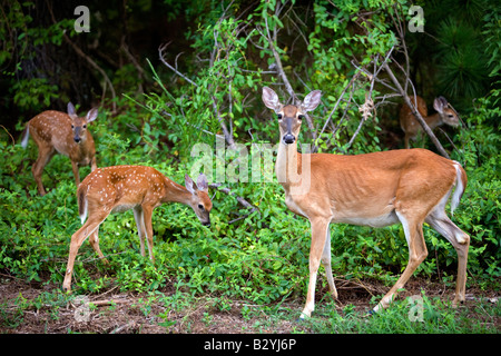 A white-tailed deer and three fawns feed on blackberry bushes in Bella Vista, Ark., U.S.A. - Stock Image