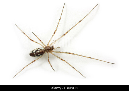 Female Blunt stretch-spider (Tetragnatha obtusa), part of the family Tetragnathidae - Longjawed orbweavers or Stretch - Stock Image