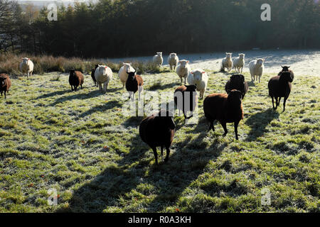 Black sheep and white sheep running together waiting for feeding in a frosty field in autumn Carmarthenshire Wales UK  KATHY DEWITT - Stock Image