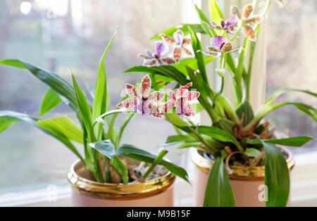 Zygopetalum Adelaide Parklands orchid - Stock Image