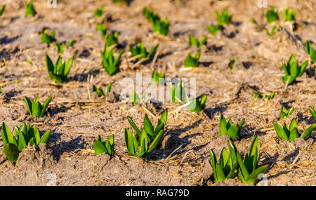 Tulip bulbs sprouting in the Netherlands - copy space, selected focus, narrow depth of field - Stock Image