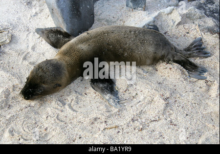 Galapagos Sea Lion Pup, Zalophus wollebaeki, Espanola Island, Galapagos Archipelago, Ecuador, South America - Stock Image