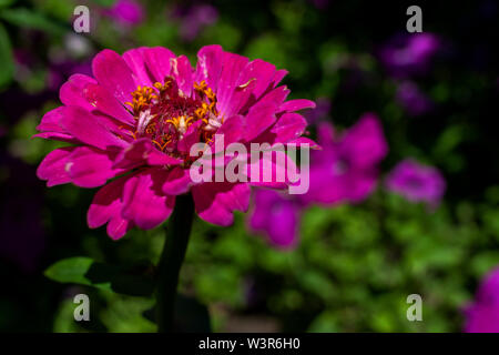 this is zinnia flower in garden with natural background - Stock Image