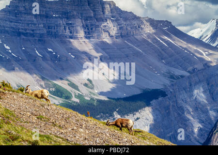 A pair of mountain goats graze on the summit of Parker Ridge in Jasper National Park in the Canadian Rockies with Big Ben Peak in the background. - Stock Image