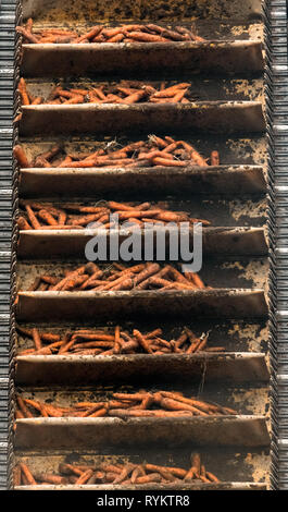 Carrots moving up a conveyor belt after being harvested. - Stock Image