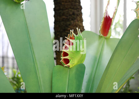 Beautiful, larger than life, vividly colored glass Venus Fly Trap flowers as seen at the Phipps Conservatory Botanical Gardens. - Stock Image