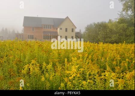 Fields of flowering, beautiful yellow Goldenrod in countryside prairie in field in front of modern rural home in Pepin, Wisconsin, USA - Stock Image