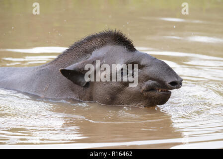 A wild Lowland Tapir in the water in North Pantanal, Brazil - Stock Image