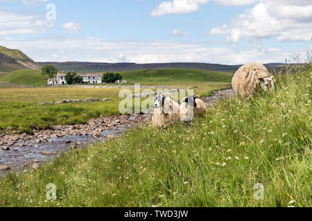Sheep Grazing on a Wild Flower Meadow at the side of the Pennine Way Footpath with the Whitewashed Farmstead of Wheysike House Behind, Forest-in-Teesd - Stock Image