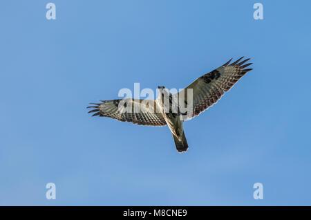Musvåge, lys ungfugl flyver. Common Buzzard in flight, juvenile Ormvråk, Musvåk (Buteo buteo) - Stock Image