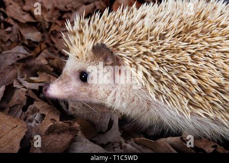 African pygmy hedgehog walking in dead leaves - Stock Image
