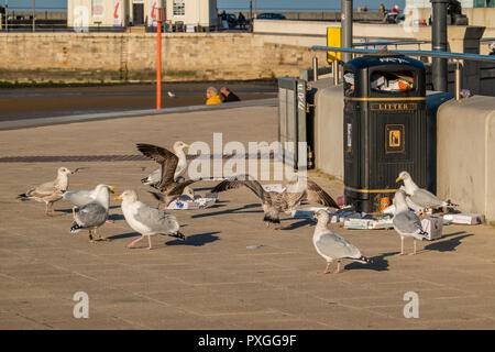 Seagulls,Scavenging,Attacking,Litter Bin,Litter,Strewn,on,Pavement,Herring Gulls - Stock Image