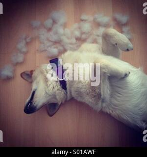 Dog in funny posture after destroying pillow - Stock Image