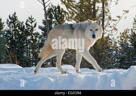 Winter Wolves, Montana, snow, forest predators - Stock Image
