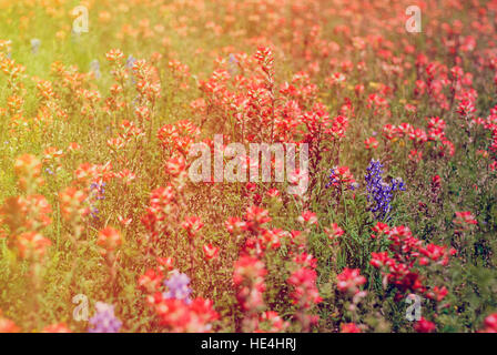Field of Bluebonnets and Indian Paintbrush flowers - Stock Image
