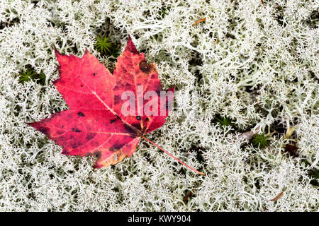 Brightly colored red maple leaf on white reindeer lichen (Cladonia rangiferina). - Stock Image