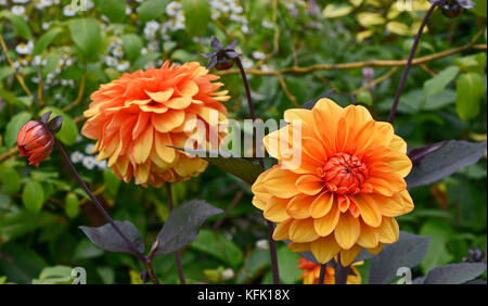 Dahlia 'David Howard'  close up in a cottage garden - Stock Image
