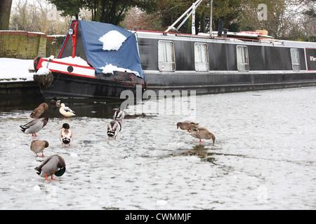 Ducks on the frozen Grand Union Canal in Marsworth, Buckinghamshire - Stock Image