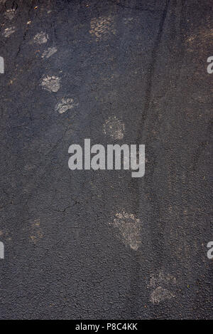 Muddy black bear tracks on an asphalt driveway in the Adirondack Mountains, NY USA with tire tracks for  size comparison - Stock Image