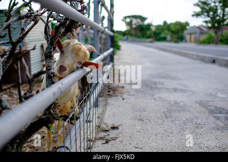 Portrait Of Goat Behind Fence By Street - Stock Image