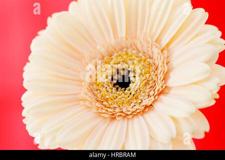 dazzling cream gerbera on red still life  - positive and flourishing Jane Ann Butler Photography  JABP1840 - Stock Image